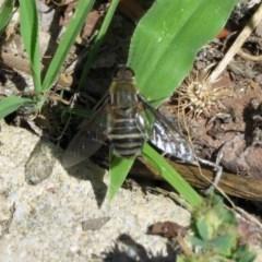 Villa sp. (genus) (Unidentified Villa bee fly) at Macarthur, ACT - 6 Dec 2018 by RodDeb