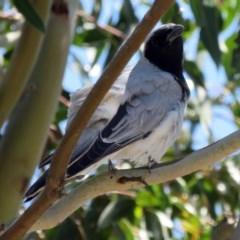 Coracina novaehollandiae (Black-faced Cuckooshrike) at Jerrabomberra Wetlands - 6 Dec 2018 by RodDeb