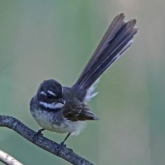 Rhipidura fuliginosa (Grey Fantail) at Jerrabomberra Wetlands - 6 Dec 2018 by RodDeb