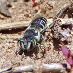Megachile (Eutricharaea) serricauda (Leafcutter bee, Megachilid bee) at Jerrabomberra Wetlands - 6 Dec 2018 by RodDeb