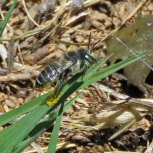Megachile (Eutricharaea) serricauda at Jerrabomberra Wetlands - 6 Dec 2018