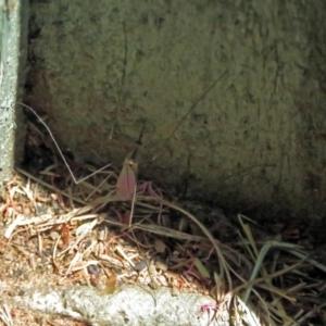 Tipulidae or Limoniidae sp. (family) at Jerrabomberra Wetlands - 6 Dec 2018