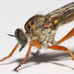 Cerdistus sp. (genus) (Robber fly) at Evatt, ACT - 1 Dec 2018 by TimL