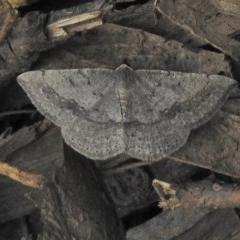 Taxeotis intextata (Looper Moth, Grey Taxeotis) at Cotter River, ACT - 7 Dec 2018 by JohnBundock