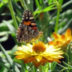 Vanessa kershawi (Australian Painted Lady) at ANBG - 6 Dec 2018 by RodDeb