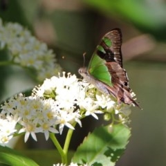 Graphium macleayanum (Macleay's Swallowtail) at ANBG - 7 Dec 2018 by RodDeb
