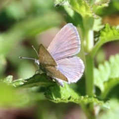 Zizina otis (Common Grass-blue) at ANBG - 6 Dec 2018 by RodDeb