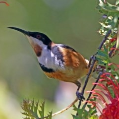 Acanthorhynchus tenuirostris (Eastern Spinebill) at ANBG - 7 Dec 2018 by RodDeb