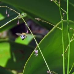 Amegilla sp. (genus) at ANBG - 7 Dec 2018