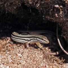 Ctenotus taeniolatus at ANBG - 7 Dec 2018