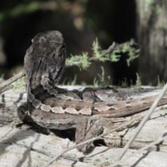 Amphibolurus muricatus (Jacky Lizard) at The Ridgeway, NSW - 7 Dec 2018 by KShort