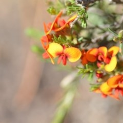 Dillwynia sericea (Egg and Bacon Peas) at Wamboin, NSW - 2 Nov 2018 by natureguy