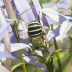 Amegilla (Zonamegilla) asserta (Blue Banded Bee) at Higgins, ACT - 6 Dec 2018 by AlisonMilton