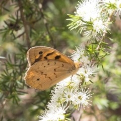 Heteronympha merope (Common Brown) at ANBG - 30 Nov 2018 by Alison Milton
