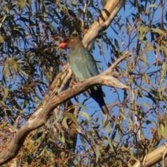 Eurystomus orientalis (Dollarbird) at Federal Golf Course - 8 Dec 2018 by JackyF