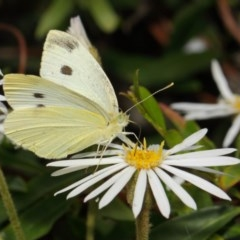 Pieris rapae (Cabbage White) at ANBG - 27 Nov 2018 by Tim L