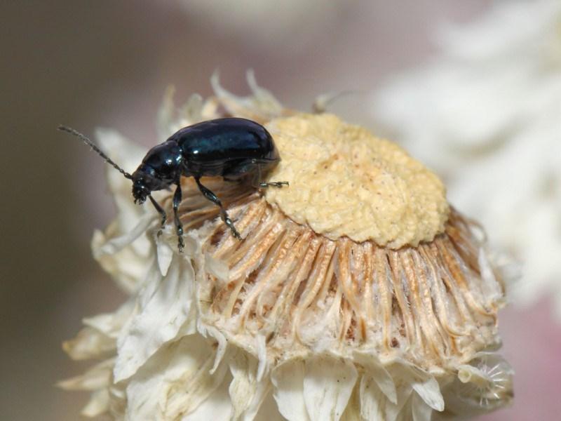 Altica sp. (genus) at ANBG - 27 Nov 2018