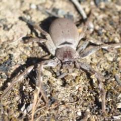 Isopeda sp.(genus) (Huntsman Spider) at Wamboin, NSW - 2 Nov 2018 by natureguy