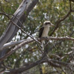 Dacelo novaeguineae (Laughing Kookaburra) at Bruce Ridge - 8 Dec 2018 by ClubFED