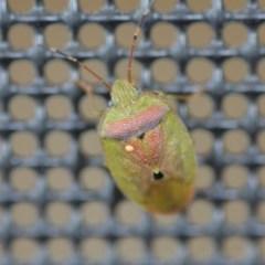 Acanthosomatidae (family) (Unidentified Acanthosomatid shield bug) at Wamboin, NSW - 4 Nov 2018 by natureguy
