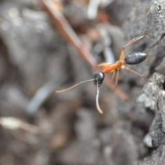 Camponotus nigriceps (Black-headed sugar ant) at Wamboin, NSW - 7 Nov 2018 by natureguy