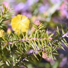 Acacia echinula at South Pacific Heathland Reserve - 1 Aug 2017 by NicholasdeJong