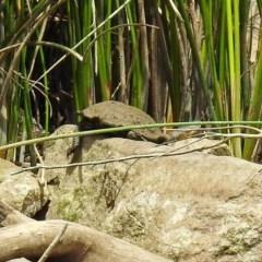 Chelodina longicollis (Eastern Long-neck Turtle) at Dickson Wetland - 9 Dec 2018 by RodDeb
