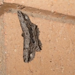 Scioglyptis lyciaria (White-patch Bark Moth) at Higgins, ACT - 29 Mar 2018 by Alison Milton