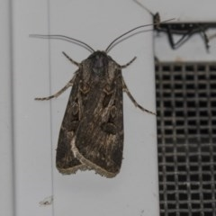 Agrotis munda (Brown Cutworm) at Higgins, ACT - 8 Dec 2018 by Alison Milton
