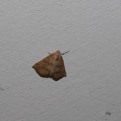 Mnesampela privata (Autumn Gum Moth) at Higgins, ACT - 29 Mar 2018 by Alison Milton