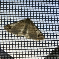 Syneora hemeropa (Ring-tipped Bark Moth) at Higgins, ACT - 11 Apr 2018 by Alison Milton