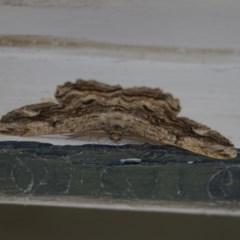 Scioglyptis lyciaria (White-patch Bark Moth) at Higgins, ACT - 14 Apr 2018 by Alison Milton