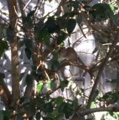 Rattus rattus (Black Rat) at Griffith, ACT - 6 Dec 2018 by Lorelle01