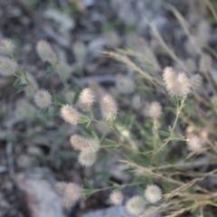 Trifolium arvense var. arvense at Michelago, NSW - 1 Dec 2018