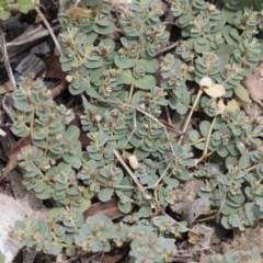 Euphorbia sp. at Illilanga & Baroona - 8 Dec 2018 by Illilanga