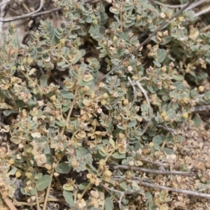 Euphorbia sp. at Michelago, NSW - 8 Dec 2018
