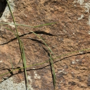 Microlaena stipoides at Michelago, NSW - 7 Dec 2018