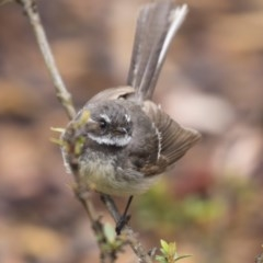 Rhipidura fuliginosa (Grey Fantail) at ANBG - 9 Dec 2018 by Alison Milton