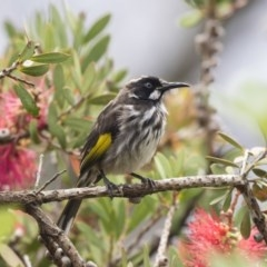 Phylidonyris novaehollandiae (New Holland Honeyeater) at ANBG - 9 Dec 2018 by Alison Milton