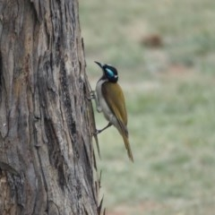 Entomyzon cyanotis (Blue-faced Honeyeater) at Belconnen, ACT - 10 Dec 2018 by wombey