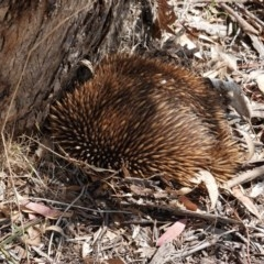 Tachyglossus aculeatus (Short-beaked Echidna) at Red Hill Nature Reserve - 11 Dec 2018 by JackyF