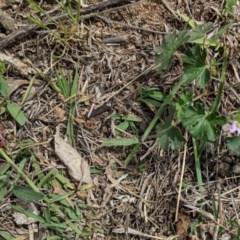 Geranium solanderi var. solanderi (Native Geranium) at Red Hill Nature Reserve - 11 Dec 2018 by JackyF