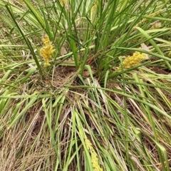 Lomandra longifolia (Spinyhead Matrush) at Meroo National Park - 11 Dec 2018 by GLemann