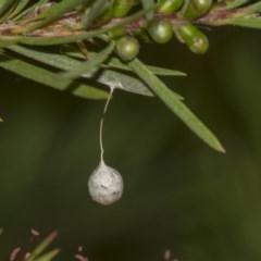 Araneae sp. (order) (Spider egg case) at ANBG - 10 Dec 2018 by Alison Milton