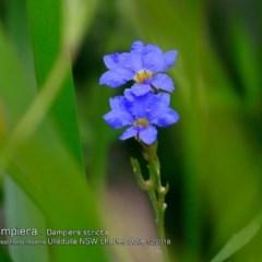 Dampiera stricta (Blue Dampiera) at South Pacific Heathland Reserve - 28 Nov 2018 by CharlesDove