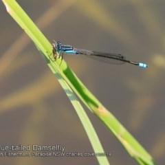 Ischnura heterosticta (Common Bluetail) at Lake Conjola, NSW - 29 Nov 2018 by Charles Dove