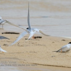 Sternula albifrons (Little Tern) at Cunjurong Point, NSW - 2 Dec 2018 by CharlesDove