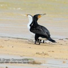 Phalacrocorax carbo (Great Cormorant) at Cunjurong Point, NSW - 2 Dec 2018 by Charles Dove