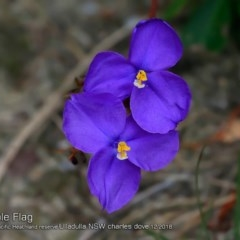 Patersonia sp. at South Pacific Heathland Reserve - 28 Nov 2018 by Charles Dove