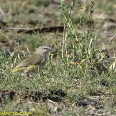 Acanthiza chrysorrhoa (Yellow-rumped Thornbill) at Red Hill Nature Reserve - 8 Dec 2018 by BIrdsinCanberra